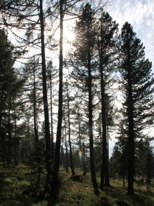 Gemeinschaftsbaum Zirbitzruh